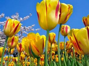 tulip_123